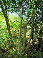 Pepohonan di semak belukar (17).JPG