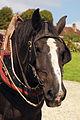 Percherons attelés mondial du cheval percheron 2011Cl J Weber05 (24083451645).jpg