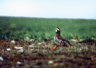 Trabancos (river) - Running red-legged partridge