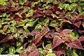 Perilla frutescens Magilla 3zz.jpg