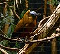 Perissocephalus tricolor Parc des Oiseaux 21 10 2015 1.jpg