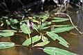 Persicaria amphibia (2).JPG