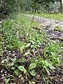 Persicaria hydropiper sl8.jpg