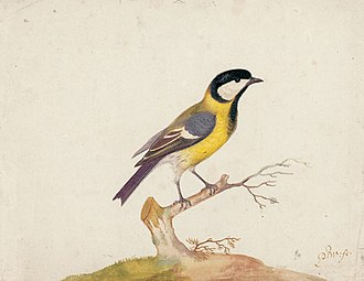 Pieter Withoos - Parus major