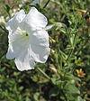 Petunia axillaris 05