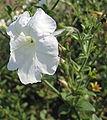 Petunia axillaris 05.jpg