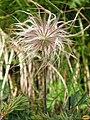 Pflanze Liuthalas 020709-5.JPG