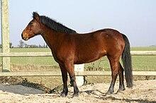 poney selle francais