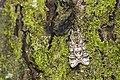 Pheosiopsis cinerea formosana (26713089187).jpg