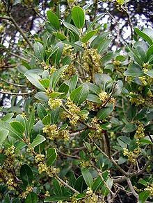Phillyrea latifolia in fiore