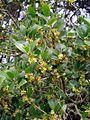 Phillyrea latifolia.jpg
