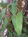 Philodendron hederaceum (25177319755).jpg