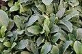 Phlox stolonifera Sherwood Purple 5zz.jpg