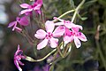 Phlox subulata Red Wing 4zz.jpg