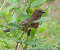 Photo of the Week - Female Eastern Towhee (RI) (6023552940).jpg