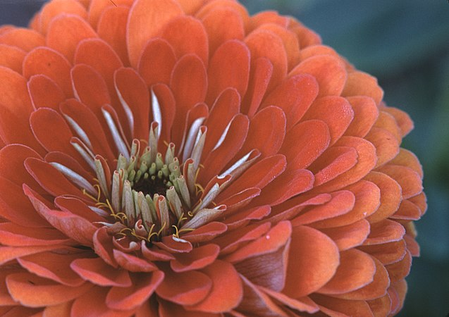 Photography by Victor Albert Grigas (1919-2017) IDEAS 00035 Zinnia Orange 6-12-61 October 1960 (49346115043).jpg