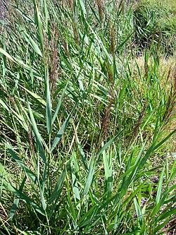 El encañizador 250px-Phragmites_australis_habitus_15August2009_LagunadeCaracuel