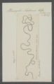 Phreoryctes menkeanus - - Print - Iconographia Zoologica - Special Collections University of Amsterdam - UBAINV0274 103 03 0007.tif