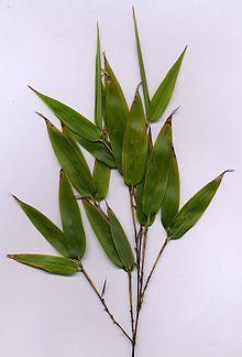 Foglie di bambù a fusto nero (probabilmente specie Phyllostachys nigra).