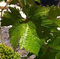 Picpoul blanc leaf at Tablas.jpg