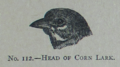 Picture Natural History - No 112 - Head of Corn Lark.png