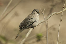 Picui Ground-Dove - Pantanal MG 8681.jpg