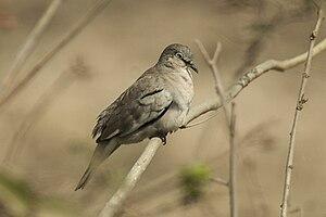 Picui ground dove - Image: Picui Ground Dove Pantanal MG 8681