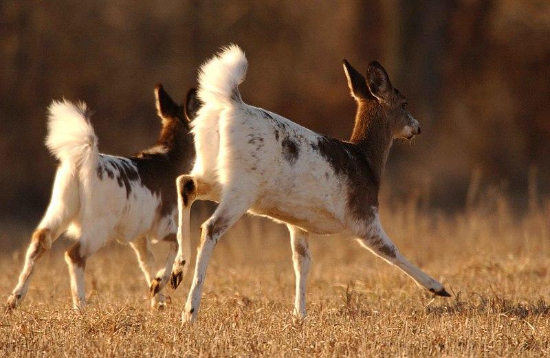 File:Piebald whitetail deer animals mammals odocoileus virginianus.jpg