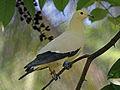 Pied Imperial Pigeon RWD.jpg