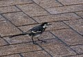 Pied Wagtail Steps out (5407651778).jpg