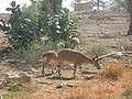 PikiWiki Israel 19860 Wildlife and Plants of Israel.jpg