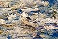 Pin-tailed pondhawk (19313824120).jpg