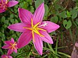 Pink Fairy Lily.JPG