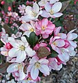 Pink and white crab apple flowers.jpg