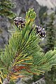 Pinus albicaulis 8581.JPG