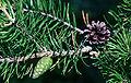 Pinus banksiana cones.jpg
