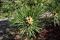 Pinus echinata male cones.jpg