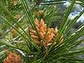 Pinus halepensis flor masculina 1 de maig de 2009.jpg