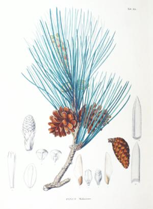 Pinus massoniana - Image: Pinus massoniana SZ114