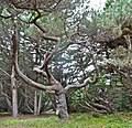 Pinus muricata twisted tree Mendocino.jpg