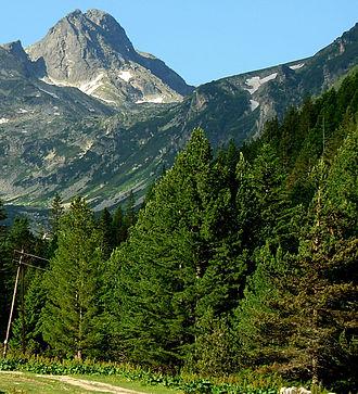 Pinus peuce - Trees in native environment, Malyovitsa, Rila Mountains, Bulgaria.