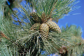 Gelb-Kiefer (Pinus ponderosa), Zapfen