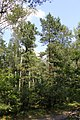 Pinus rigida and sylvestris Drewnica.jpg