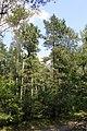 Pinus rigida and sylvestris Drewnica.jpg