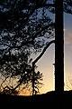 Pinus sylvestris (4547185419).jpg