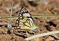 Pioneer Butterflies Mudpuddling Chinnar WLS Kerala (68).jpg