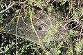 Pisauridae 2012 07 29 7918.JPG