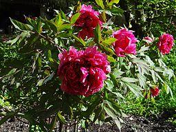 pivoine arbustive fleurs doubles rouges