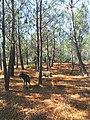 Planícies da Costa Vicentina cobertas de pinheiros-bravos (Pinus pinaster).jpg