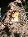Plane tree Guneschgasse 4 03.JPG